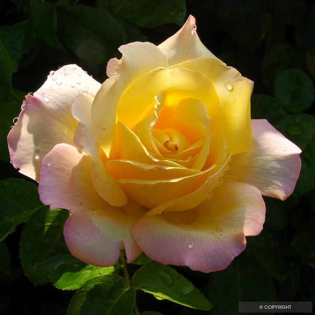 Peace Rose - Halcyon House garden, Westlake Village, CAlcyon House garden, Westlake Village, CA