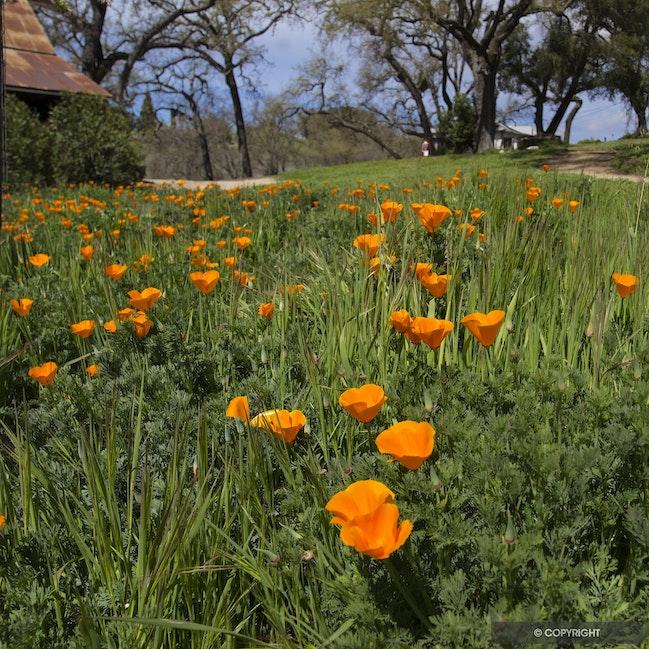 California Poppies - Springtime near Paso Robles, California