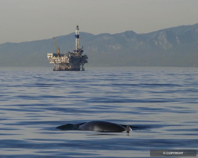 Whale & Oil - Oil rig & Meinke whale in Channel Islands National Marine Sanctuary, near Ventura, California