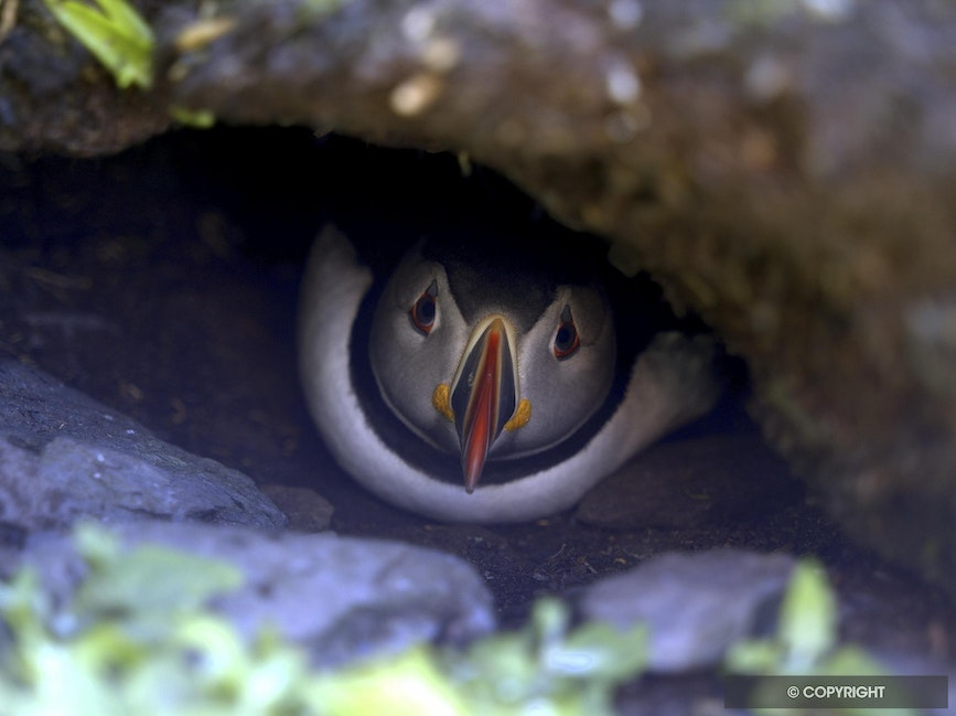 Puffin Home - Atlantic puffin in burrow, Skellig Michael Island, Ireland