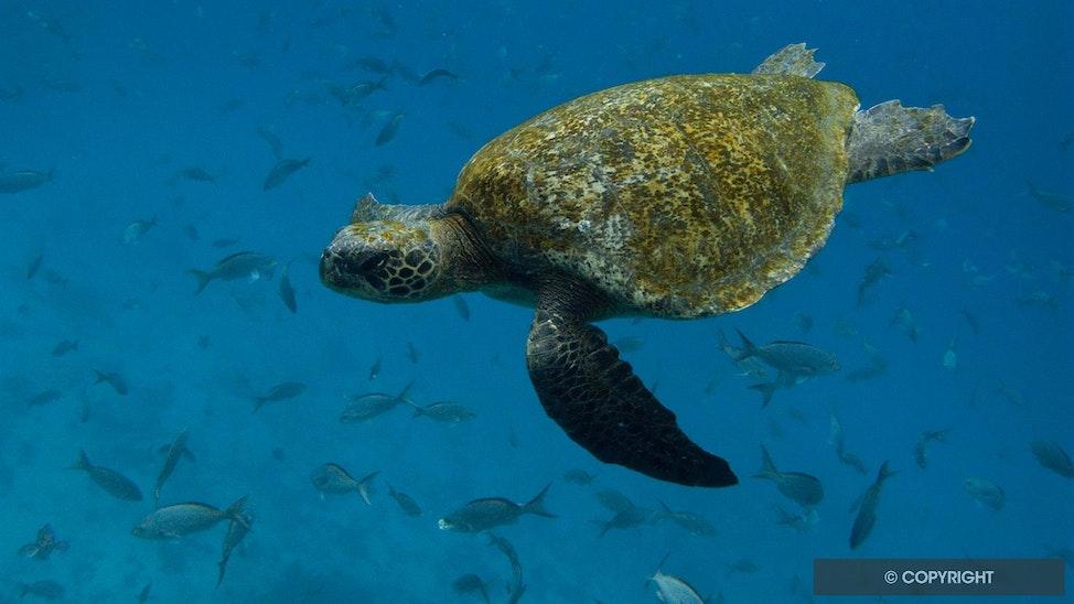 Galapagos Green - Green sea turtle and fish, Galapagos National Park, Ecuador