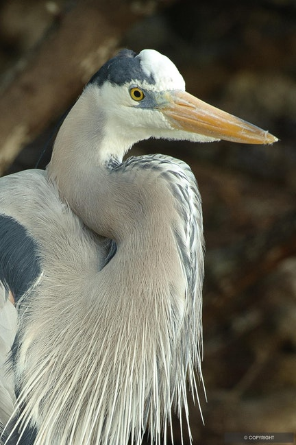 Spencer - The Resident Great Blue Heron at Little Palm Island Resort, Florida