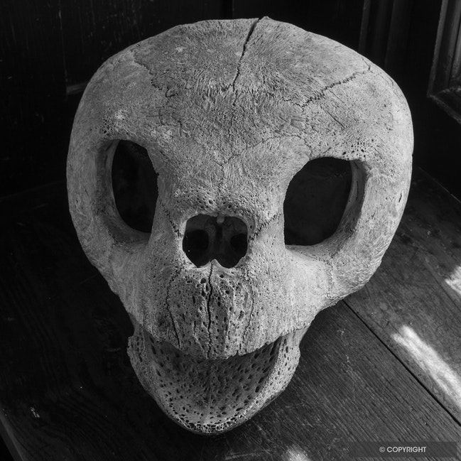The Storyteller Skull - HIstoric loggerhead sea turtle skull in Carnegie house-Greyfield Inn, Cumberland Island National Seashore, Georgia