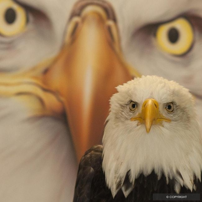 Big Brother - Bald Eagle Sitka, Raptor Center at Sitka, Alaska