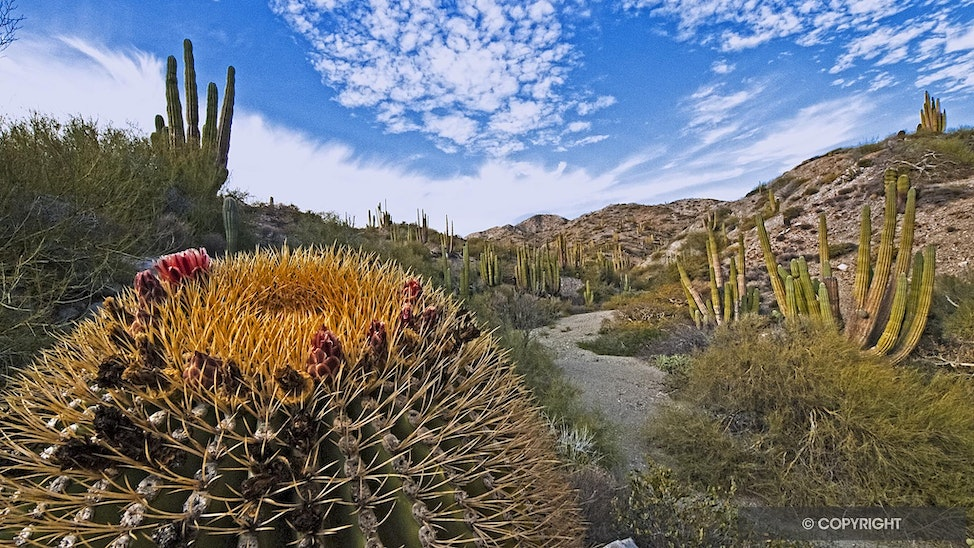 Baja Island Trail - An easy trail leads from the beach into the Cardon forest, revealing Isla Santa Catalina barrel cactus, Ferocactus diguesii, and Saguaro-like...