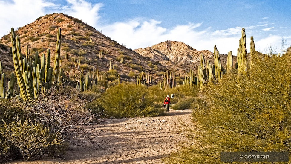 Cardon Forest Explorers - Isla Santa Catalina is home to a rattle-less rattlesnake and a forest of giant Cardon cactus, Pachycereus pringleithat, that...