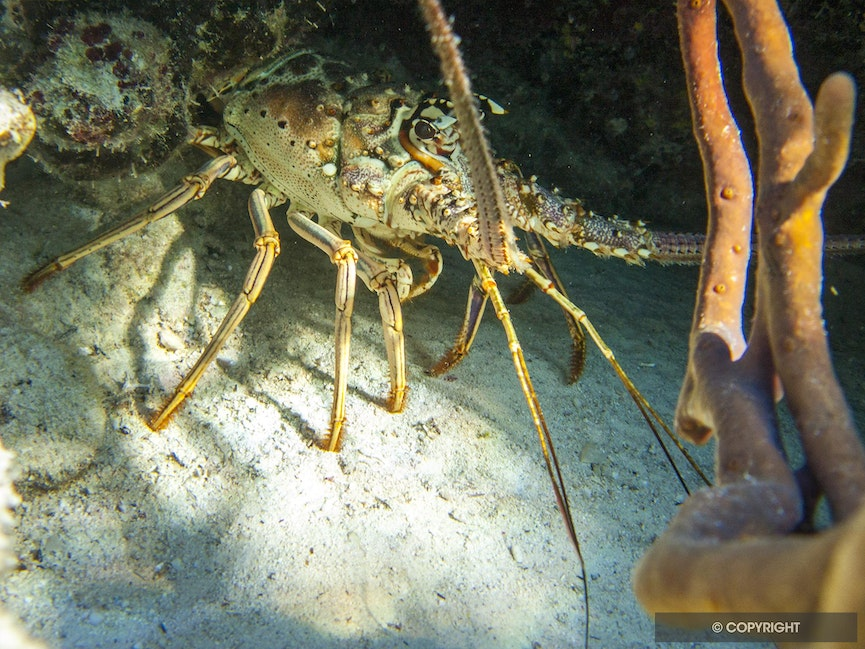 Lobster Spotlight - A spiny lobster basks in the afternoon sun behind a red tube sponge