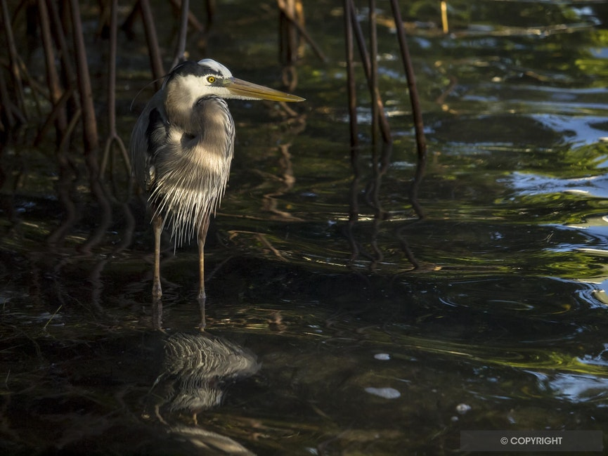 Reflected Light - A great blue heron stalks fish among the red mangrove roots in morning light