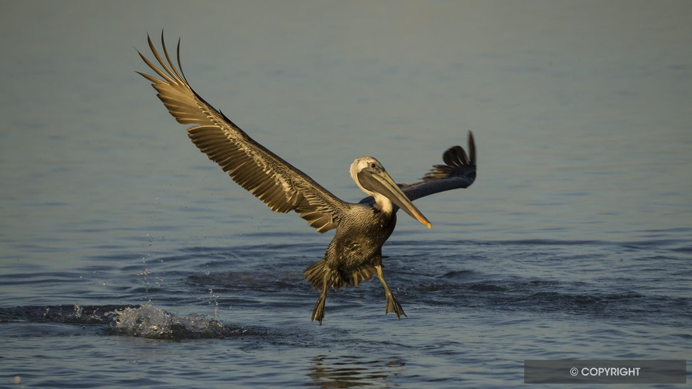 Up, Up, & Away.. - Forage fish were so plentiful the pelicans hardly left the water before went crashing back in for more