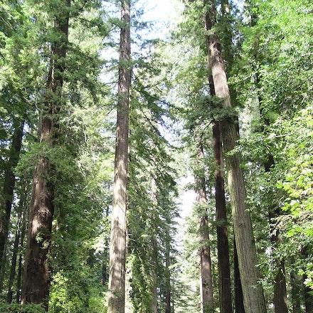 Highway Through Redwoods