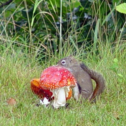 Squirrel Mushroom