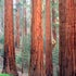 0220 Redwood Mountain Grove, Kings Canyon NP, CA