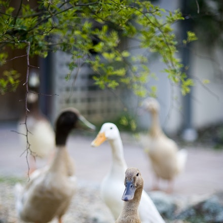 20101003_9012 ducks