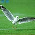 Seagull 1603071032 - NRL Premiership - Round 01 - Melbourne Storm V St George Dragons - 07 March 2016 - AAMI Park, Melbourne, Vic - Ian Knight