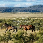 Brumbies of Austraila
