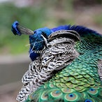 Peacock Images For Sale