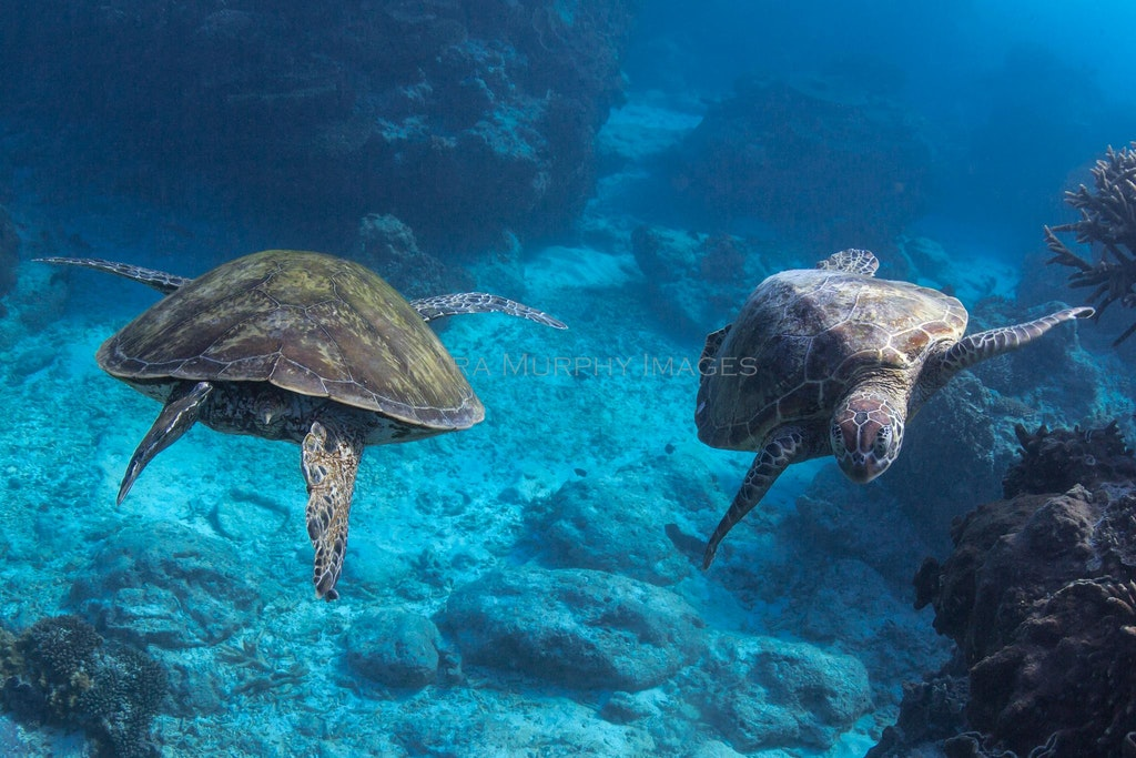 Turtle highway - Two green turtles pass one another in waters off Lady Elliot Island, on the southernmost Great Barrier Reef.