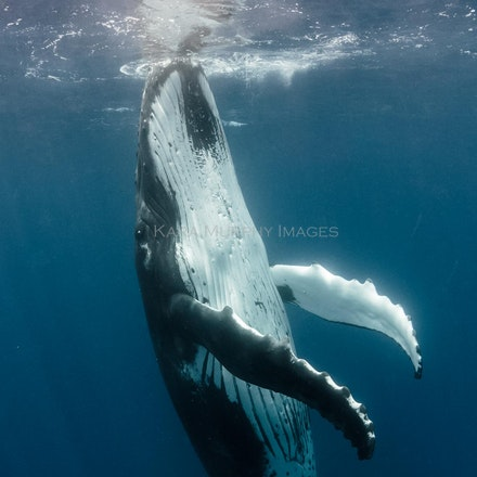 Humpback gaze, Tonga - An interactive male humpback whale meets the photographer's eyes while swimming in waters off Vava'u, Tonga.