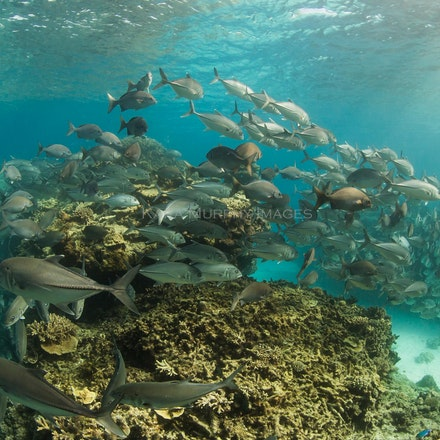 Trevally school - A school of trevally swims off the western side of Lady Elliot Island, on the southern Great Barrier Reef.