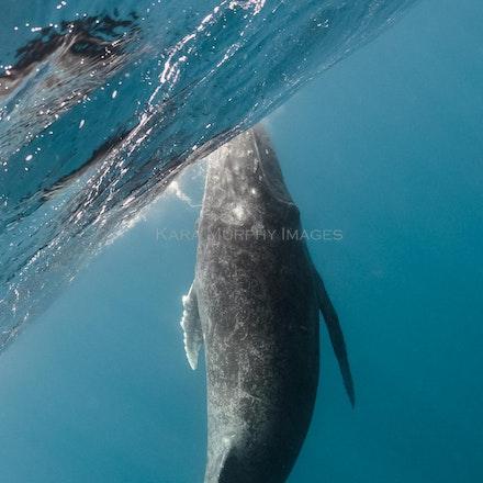 Surfacing calf, Tonga - A humpback whale calf prepares to break the water's surface in Vava'u, Tonga.