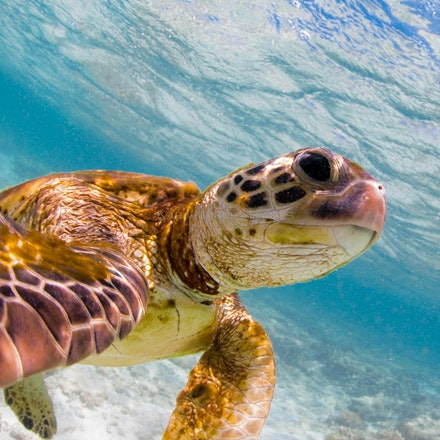 Turtle selfie - A green turtle appears to be taking a 'selfie' as he swims in a shallow lagoon off Lady Elliot Island, on the southernmost Great Barrier...