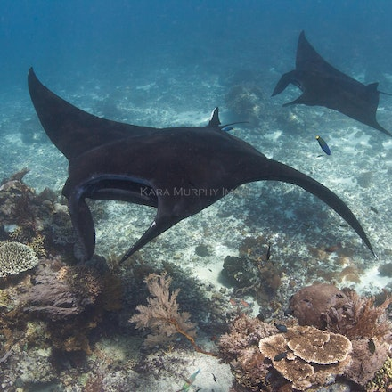 Manta ray magic - Manta rays cruise over a cleaning station at Takat Makassir, Komodo National Park, Indonesia.