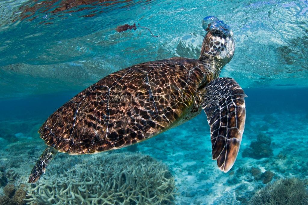 Taking a breath - A green turtle takes a breath in the Lady Elliot Island lagoon.