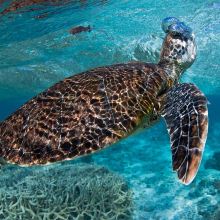 Taking a breath - A green turtle takes a breath in the Lady Elliot Island lagoon.