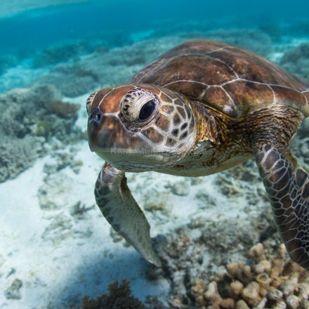 Curiosity - A green turtle hovers near a snorkeler in the Lady Elliot Island lagoon.