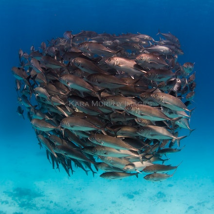 Tight school of trevally - A small school of trevally swim off the western side of Lady Elliot Island, Queensland.