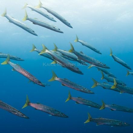 Barracuda, Fiji - Barracuda swim near the Alice in Wonderland dive site near the Jean-Michel Cousteau Resort, Savusavu, Fiji.