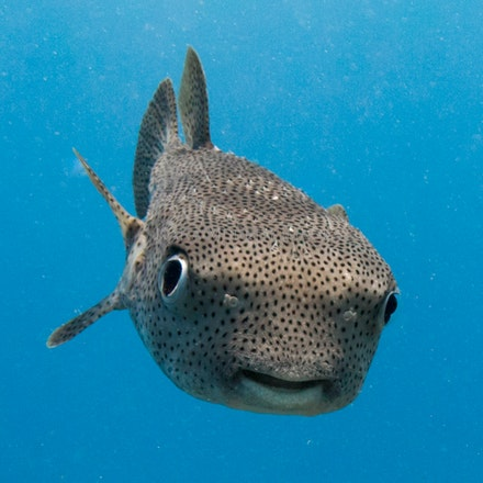 Porcupine puffer, Fiji - A porcupinefish, Fiji.