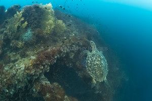 Rising hawksbill, Yongala - A hawksbill turtle ascends alongside the Yongala wreck, Great Barrier Reef Marine Park, Queensland, Australia.