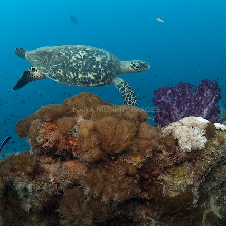 Hawksbill, Yongala - A hawksbill turtle swims along the Yongala wreck, Great Barrier Reef Marine Park, Queensland, Australia.