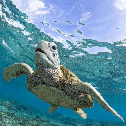 Turtle teeth - A friendly green sea turtle enjoys the underwater world of the Lady Elliot Island lagoon, Southern Great Barrier Reef, Australia.