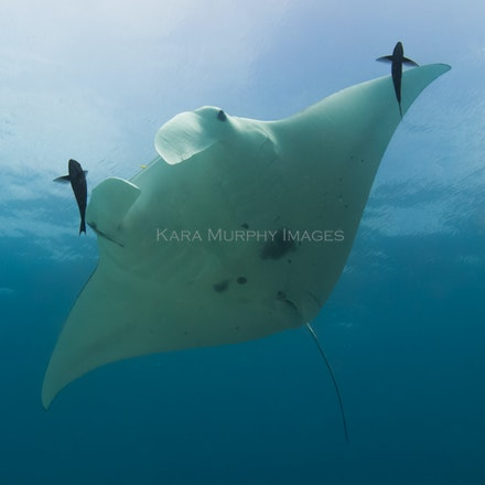 Manta ID - A reef manta ray swims above a cleaning station at Lady Elliot Island, Southern Great Barrier Reef, Australia. Researchers are able to distinguish...