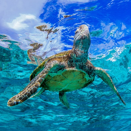 Reaching for the sky - A green sea turtle surfaces for air in the waters surrounding Lady Elliot Island, on the Great Barrier Reef, Australia.