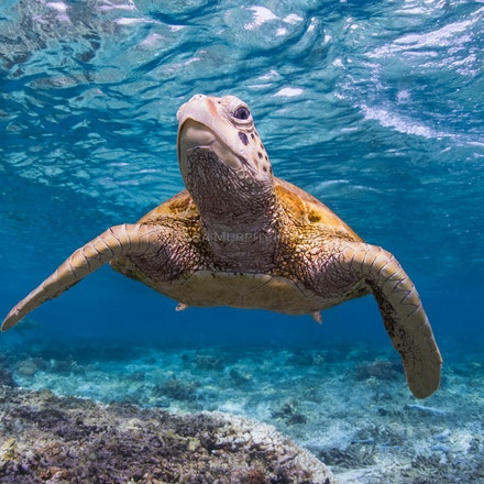 Turtle in the blue - A green sea turtle swims in the beautiful underwater world of the Lady Elliot Island lagoon.