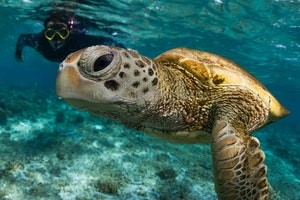 Turtle gaze - A green sea turtle swims in the beautiful underwater world of the Lady Elliot Island lagoon.