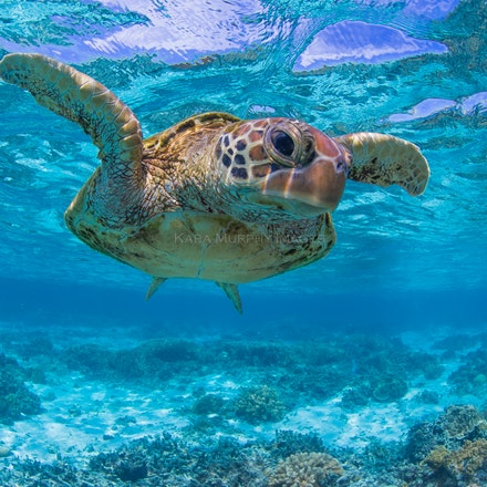 Checking you out - A green sea turtle explores the underwater world in the Lady Elliot Island lagoon.