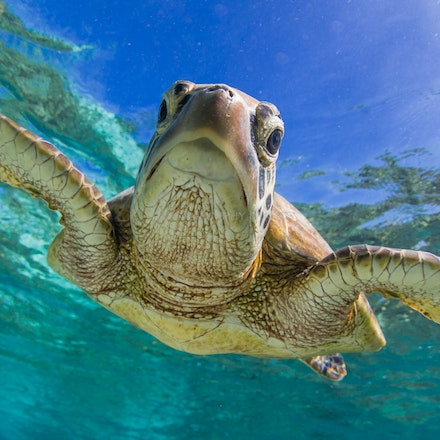 Perfect pause - A green sea turtle explores the underwater world in the Lady Elliot Island lagoon.
