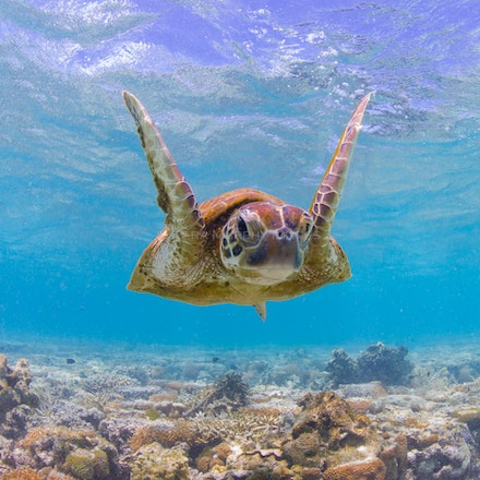 Joyful turtle - A green sea turtle is happy to be in the pristine underwater environment off Lady Elliot Island.