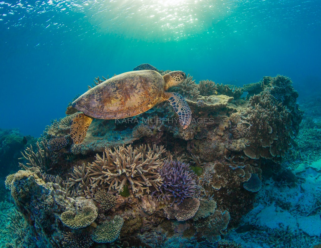 Sunset turtle - A green sea turtle explores Lady Elliot Island's underwater world at sunset.