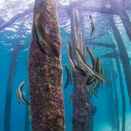 Batfish, Raja Ampat - Batfish swim beneath a jetty in Raja Ampt, Indonesia.