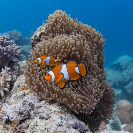 Anemonefish, Raja Ampat