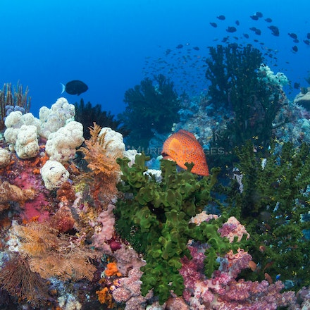 Coral gardens, Raja Ampat - Raja Ampat's underwater world is a pleasure to behold.