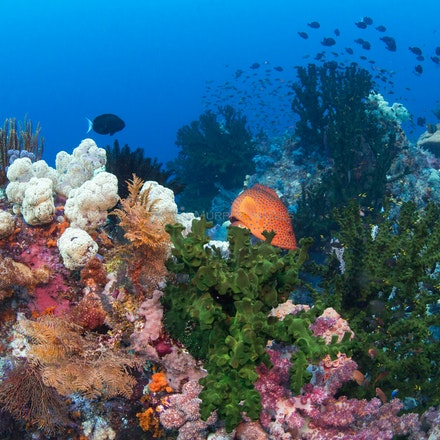 Coral gardens, Raja Ampat - Raja Ampat's underwater world is a pleasure to behold.
