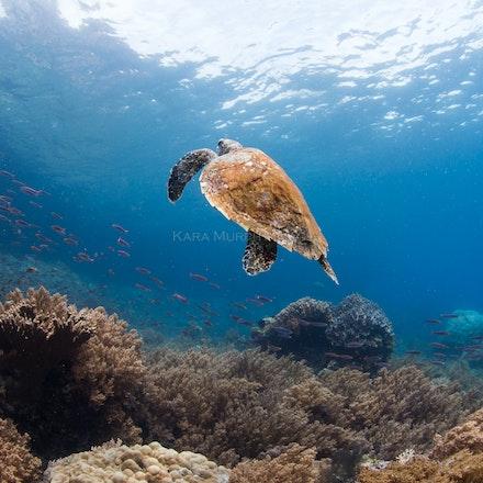 Hawksbill turtle, Raja Ampat - A hawksbill turtle rises towards the surface in Misool, Raja Ampat.