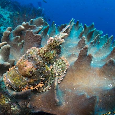 Papuan scorpionfish, Raja Ampat - Papuan scorpionfish, Dunia Kecil ('small world') dive site, Penemu Island, Raja Ampat.