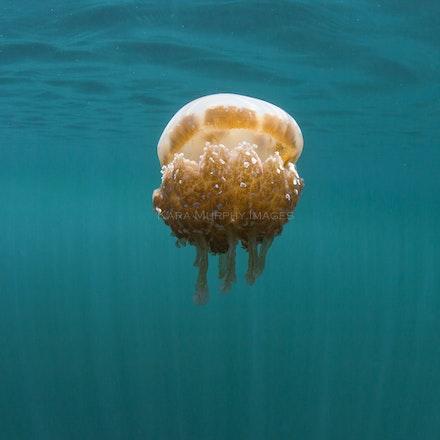 Jellyfish lake 4, Raja Ampat - Jellyfish, their sting so mild its undetectable, inhabit a jungle lake in Raja Ampat.